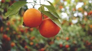 oranges-926274_1920