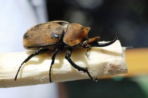 rhinoceros-beetle-285314_1920